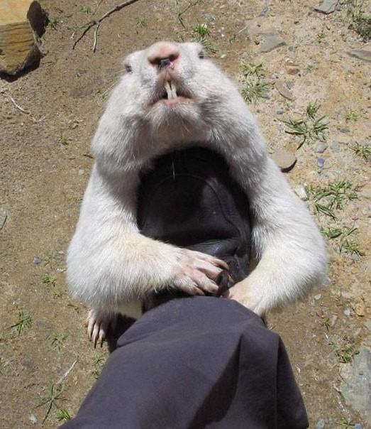 土拨鼠最新图片; 可爱动物萌图; 可爱动物萌图_80后吧_贴吧